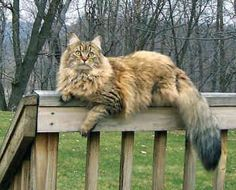 Cool maine coon cat