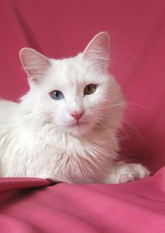 Pictures of Turkish Angora Cat Breed Turkish Angora Cat, Turkish Van Cats, Angora Cats, Cat Photography, Pretty Cats, Beautiful Cats, Teacup Cats, Dancing Cat, Toxic Plants For Cats