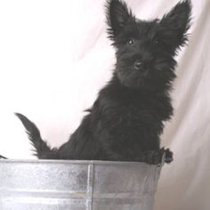 my dream dog, scottish terrier. [i miss you nuggies. Scottish Terrier Puppy, Terrier Dogs, I Love Dogs, Puppy Love, Cute Dogs, Doggies, Dogs And Puppies, Scottie Dogs, Family Dogs