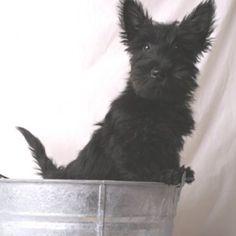 Adorable Scottish terrier
