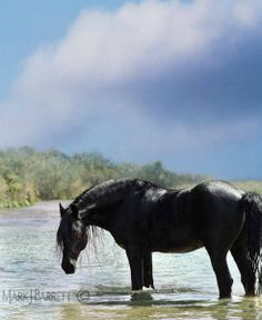 black Friesian horse standing in shallow water with clouds in sky