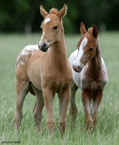"22yr-old New Forest Pony, ""Royal Beatrice"" shocked experts w/surprise birth of healthy twin foals"