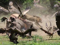 Leone vs avvoltoi e le altre grandi foto della settimana