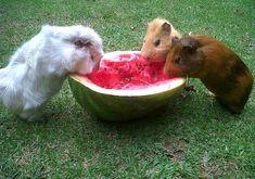 Guinea pigs eating watermelon