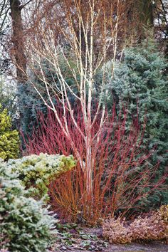 Winter Interest Worth Waiting For - FineGardening Amazing Gardens, Beautiful Gardens, Evergreen Garden, Winter Plants, Winter Trees, Garden Shrubs, Balcony Gardening, Flower Gardening, Indoor Gardening