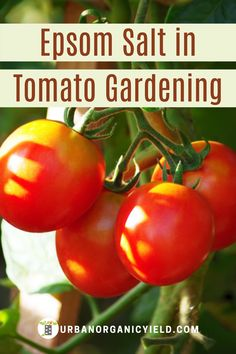 How to grow tomatoes that are plump and tasty in your garden is no secret. You need to add a fertilizer. The active ingredient in Epsom salt is a fertilizer and makes your tomatoes taste sweeter Read on for the benefits of Epsom salt for tomato plants (and other vegetables). #VegetableGardening #TomatoFertilizer #EpsomSalt #Plants #GrowingTomatos #Gardening #UrbanOrganicYield Epsom Salt Tomato Plants, Epsom Salt For Tomatoes, Tomato Garden, Fruit Garden, Organic Gardening, Gardening Tips, Epsom Salt Benefits, Tomato Fertilizer, Flora Farms
