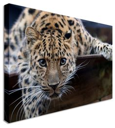 Cute Leopard Cub by Animal Art Canvas Printers, Canvas Art Cheap Prints by www.canvastown.co.uk