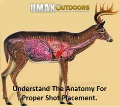 Understand Deer Anatomy For Proper Shot Placement