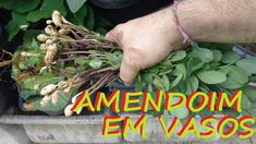 Como Plantar Amendoim em vasos!