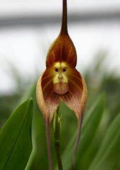 Orquidea ou Mico Leão?