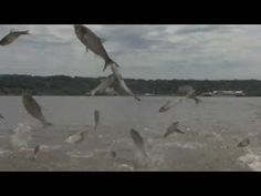 Insane Asian Carp- This is crazy! This were flying every where! You need to watch this!