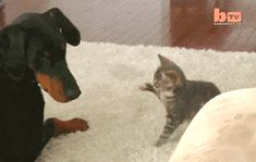 Attacking Dog | Funny Cat GIFs #CatTumblr