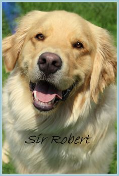 Sir Robert - 1 yr. His owners were getting divorced & gave him to friends saying he had a sprained leg - after a visit to the vet - he has bi-lateral elbow dysplasia & his hips are questionable. His previous owner suggested putting him down, the new owners contacted rescue. Sir Robert is at Golden Retriever Rescue Resource in Ohio. Read/Donate: http://www.gr-rescue.org/golden_retrievers_for_adoption_page_6.html#.UhfsFBusiSo