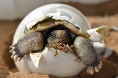 Kostenloses Bild auf Pixabay - Wüstenschildkröte, Schraffur, Baby