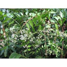 Azadirachta Indica commonly known as neem is a very attractive tree which has lacy grevillia type leaflets.The plant can be grown indoors with bright light conditions and warm temperature.There are many medicinal uses of the neem tree and purified extracts of the seeds have been known to keep the fe