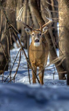 Winter Buck......#gazing through nature's door 2  beautiful
