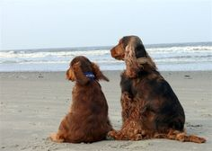 Well son, this is what the humans call the ocean. Black Cocker Spaniel, English Cocker Spaniel, Baby Puppies, Dogs And Puppies, Field Spaniel, Dog Heaven, Cockerspaniel, Squishies, Dog Life