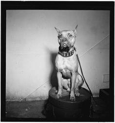 William Gottlieb - Portrait of Mister (Billie Holiday's dog) (c1946-48)