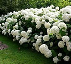 Hydrangea Care - Growing, Propagating and Drying Hydrangea Flowers Ficus Hedge, Rose Hedge, Flower Hedge, Privacy Hedge, Smooth Hydrangea, Hydrangea Care, Hydrangea Flower, White Hydrangea Garden, Tuna