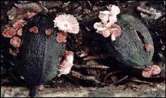 Monoliophthora perniciosa (Witches Broom, Cacoa Pod Rot)