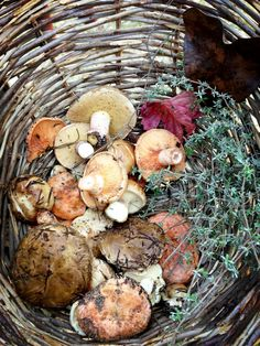 Basket of Wild Mushrooms and Herbs #foraging