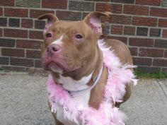 TO BE DESTROYED - 04/13/14  Brooklyn Center - P   My name is HONEY. My Animal ID # is A0995565.  I am a female brown and white staffordshire mix. The shelter thinks I am about 3 YEARS old.   I came in the shelter as a STRAY on 04/02/2014