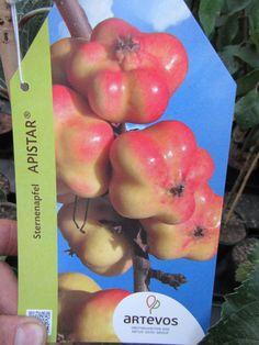 Sternenapfel  APISTAR - winterharte Pflanze 180cm im Topf - saftige Sternfrüchte