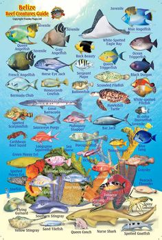 Belize Maps, Dive/Fish ID Cards