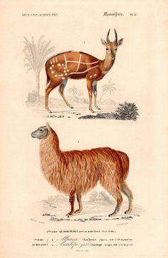 1849 Antique Animal Print Alpaca Antelope by AntiquarianPrints, $20.00