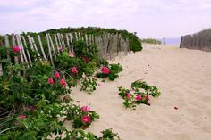 beach or salt spray roses - the fragrance is amazing!