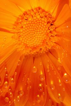 orange quenalbertini: beautiful flower with droplets Orange Zest, Orange Blossom, Orange Yellow, Orange Color, Happy Colors, Warm Colors, Pantone, What's My Favorite Color, Orange Aesthetic