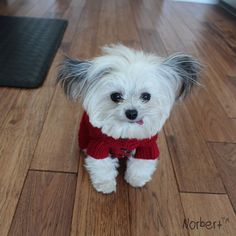 Norbert the 3lb Cute Therapy Dog