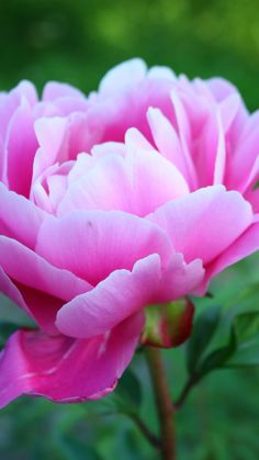 Peony Pink Flower Wallpaper for Mobile Phone, 480x854px
