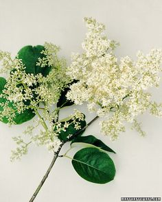 JAPANESE TREE LILAC - Martha Stewart Home & Garden