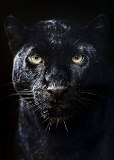 Black panther poster poster by from collection. Black Panther Cat, Black Panther Tattoo, Black Cat Tattoos, Tattoo Black, Black Jaguar Animal, Black Jaguar White Tiger, Black Tigers, Jaguar Wallpaper, Animal Wallpaper