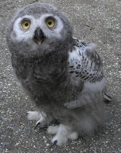 Another photo of Ugle, the snow owl chick. As mentioned before, he had to be made hand-tame since he would participate in a flight show at another park. Ugle the snow owl chick Baby Owls, Baby Animals, Cute Animals, Beautiful Owl, Animals Beautiful, Mundo Animal, My Animal, Owl Bird, Pet Birds