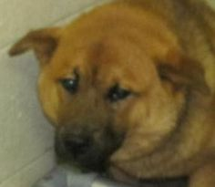 25 Rudy is an adoptable Chow Chow Dog in Canton, OH.  Picked up as a stray on 6/21. Available on 6/25. Rudy is pretty frightened at the pound, and being locked up in a pen! You can see the poor guy co...