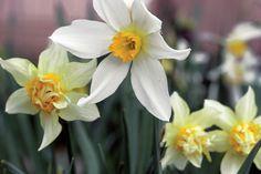 Narsissit eivät koskaan saavuttaneet puutarhassa sellaista suosiota kuin aikoinaan huikean halutuiksi kohonneet tulppaanit. Sitkeän sipulikasvin vanhat lajikkeet ovat meidän onneksemme sinnitelleet vuosikausia elinvoimaisina.