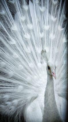 White peacock!