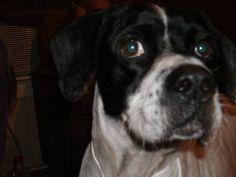 #lostdog CHANCE GOFFY white/black male english bulldog Dalmation Mix, large 40-75 lbs,  6yrs, 3-9-13 Houston TX 77076 www.lostmydoggie.com/details.cfm?petid=27773  @TexasLost Pets
