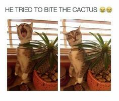 The Cat Tried To Bite The Cactus funny cute animals cat cats adorable animal kittens pets kitten humor funny pictures funny animals Funny Animal Memes, Cute Funny Animals, Funny Animal Pictures, Funny Cute, Cute Cats, Funny Memes, Animal Humor, Funny Pics, Funniest Animals