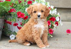 Brady | Keystone Puppies: Puppies for Sale | Health Guaranteed    #cavapoo #keystonepuppies