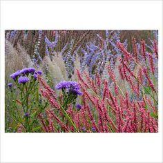 New perennial combination of Aster novi belgii 'Percy Thrower', Persicaria amplexicaulis 'Inverleith', Calamagrostis brachytricha and Perovskia - Lady Farm, Somerset