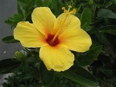 hawaii flowers - - Yellow Hibiscus