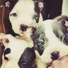 My babe on the top #americanbully #bullybreed #bullyz #badass #dogs #animals #pitbull #pitsofinstagram #instadog #puppy #cute #cutedogs #puppiesofinstagram #puppiesforall #cane #perro #cachorro #nature #tattoosofinstagram #bully #italia #animali #cuccioli #ink by americanbully_