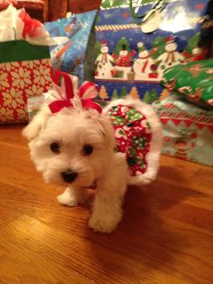 My Maltese Puppy