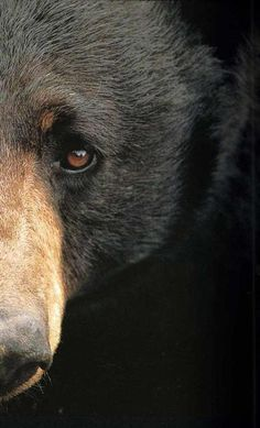 Black Bear. (If you encounter a black bear, appear large, hold your ground and punch it hard in the nose. It will retreat.)