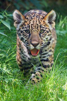 ~~Jaguar Junior by Johannes Wapelhorst~~