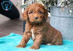 This super cute Cockapoo puppy is raised with children and will make a wonderful companion & family pet. Cockapoo Puppies For Sale, Design Development, Doggies, Cute Animals, Super Cute, Paris, Pretty Animals, Montmartre Paris, Pet Dogs