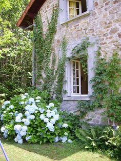 French cottage with climbing ivy and blue hydrangeas in the garden.